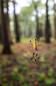Golden Silk Spider_Cat Island_Louisiana_photo by Gabe DeWitt_November 05, 2014-104-2