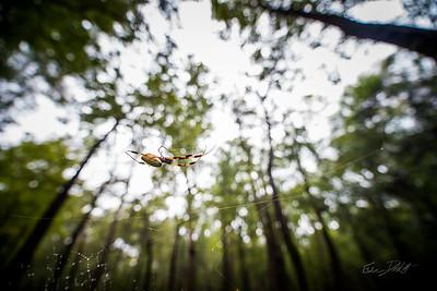 Golden Silk Spider_Cat Island_Louisiana_photo by Gabe DeWitt_November 05, 2014-118