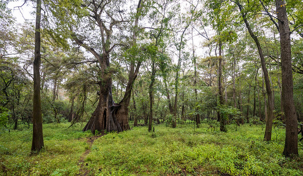 Cypress Trees_Cat Island_Louisiana_photo by Gabe DeWitt_November 05, 2014-69