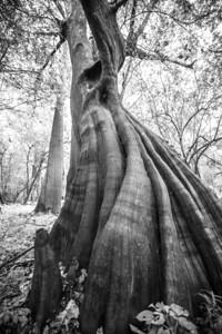 Cypress Trees_Cat Island_Louisiana_photo by Gabe DeWitt_November 05, 2014-33