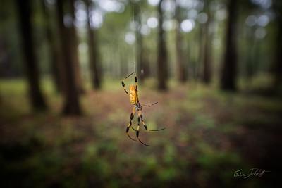 Golden Silk Spider_Cat Island_Louisiana_photo by Gabe DeWitt_November 05, 2014-106