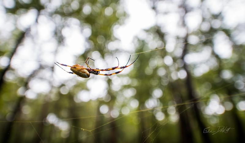 Golden Silk Spider_Cat Island_Louisiana_photo by Gabe DeWitt_November 05, 2014-113