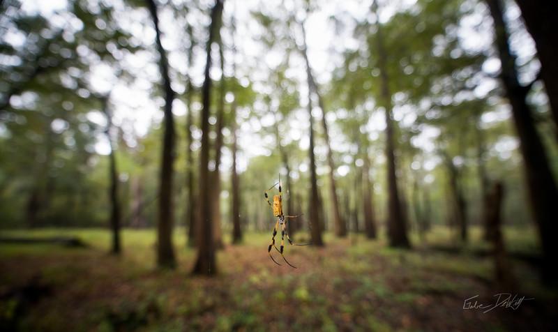Golden Silk Spider_Cat Island_Louisiana_photo by Gabe DeWitt_November 05, 2014-108