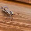 Leaflegged Stink bug