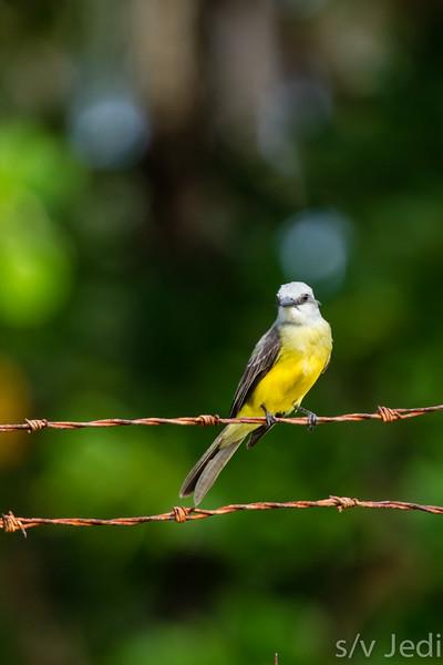Tropical Flycatcher