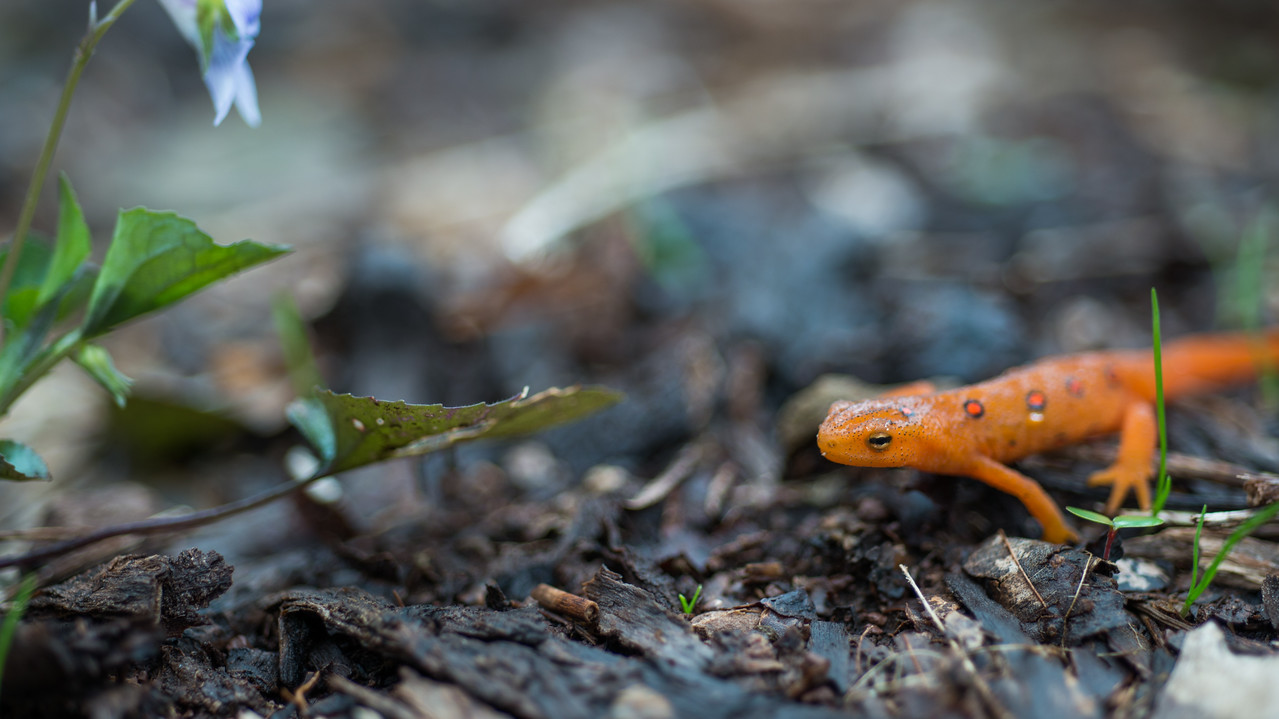 NCM15010; Allegheny Trail; Cheat River; DNR; Friends of the Cheat; Gabe DeWitt; TNC; The Nature Conservancy; The Nature Conservancy Magazine; West Virginia; photo by Gabe DeWitt; spring Views from the Alleghany trail. An Eastern/Red-spotted Newt.