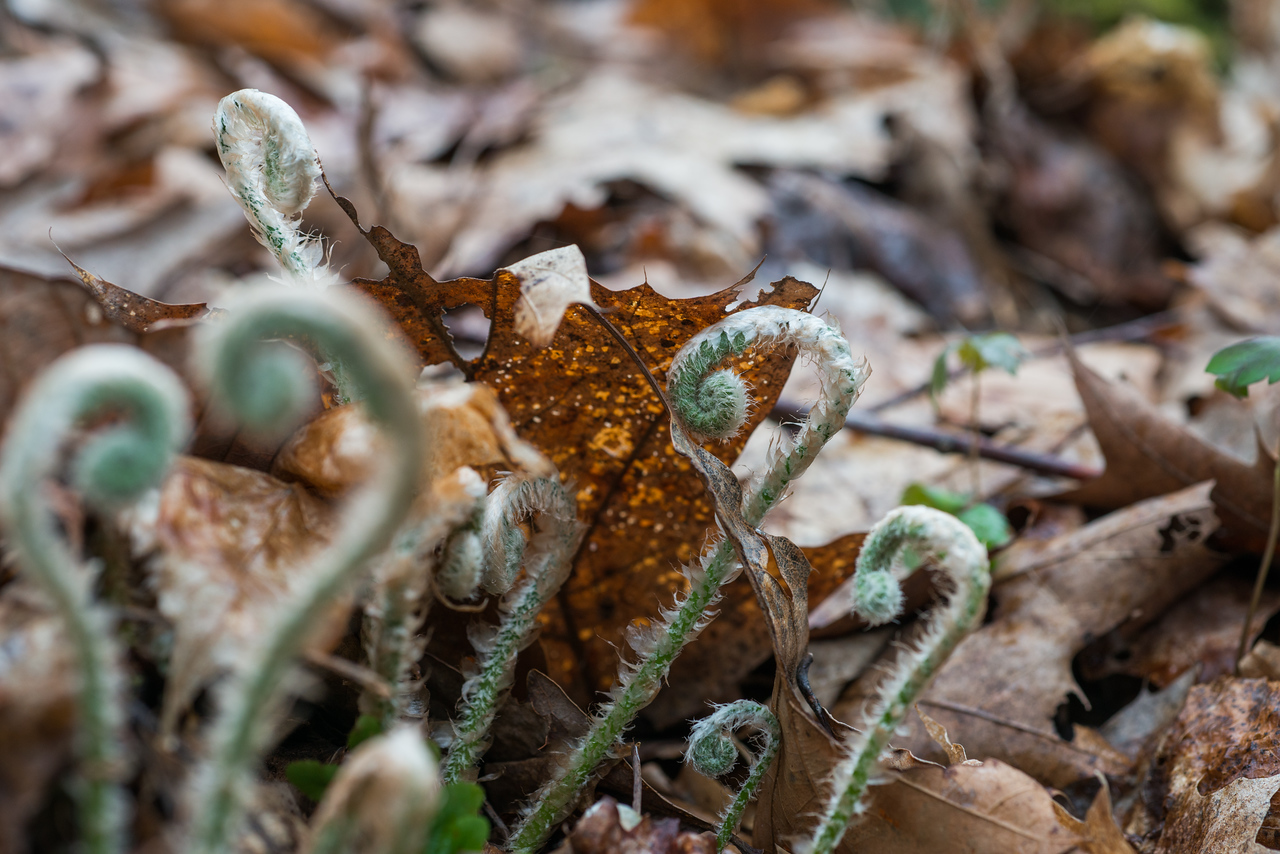 NCM15010; Allegheny Trail; Cheat River; DNR; Friends of the Cheat; Gabe DeWitt; TNC; The Nature Conservancy; The Nature Conservancy Magazine; West Virginia; photo by Gabe DeWitt; spring Views from the Allegheny trail. Fiddlehead Ferns popping up through leaf coated canyon forest floor.