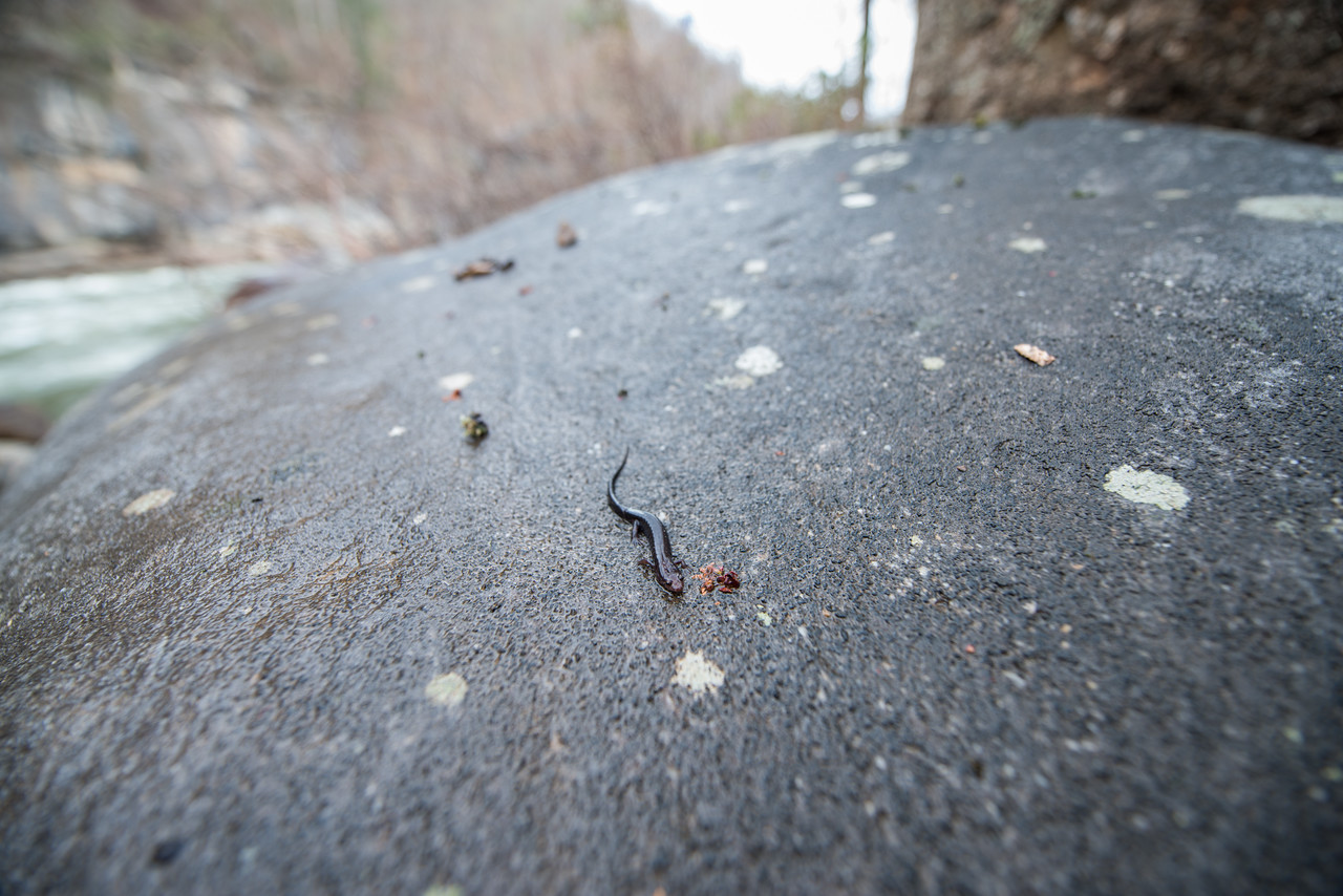 NCM15010; Allegheny Trail; Cheat River; DNR; Friends of the Cheat; Gabe DeWitt; TNC; The Nature Conservancy; The Nature Conservancy Magazine; West Virginia; photo by Gabe DeWitt; spring Views from the Allegheny trail. By the High Falls rapids I found a river salamander. I
