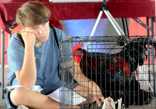 0810 rooster crowing contest 1