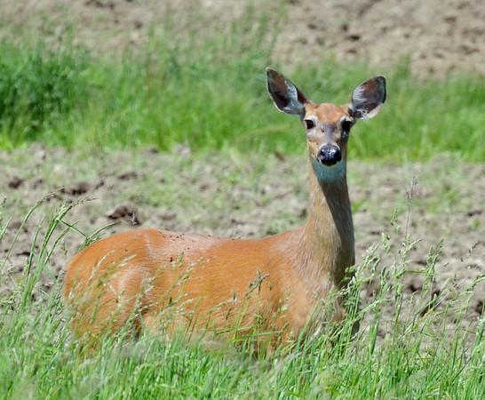 0602 oh deer 2