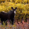 Pretty moose cow in the bushes.