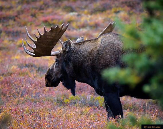 Bull moose just behind the cabins of Camp Denali.
