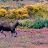 Moose cow on the move.