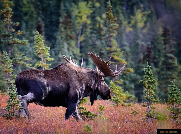 A big bull moose just behind the cabins at Camp Denali.