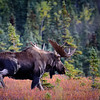 A big bull moose just behind the cabins at Camp Denali.