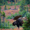 Big bull moose just behind the cabins of Camp Denali.