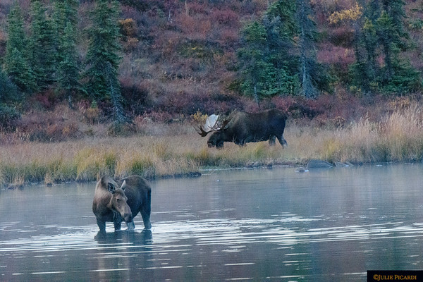 Moose cow feeding in Wonder Lake, Denali National Park, as bull watches over her.