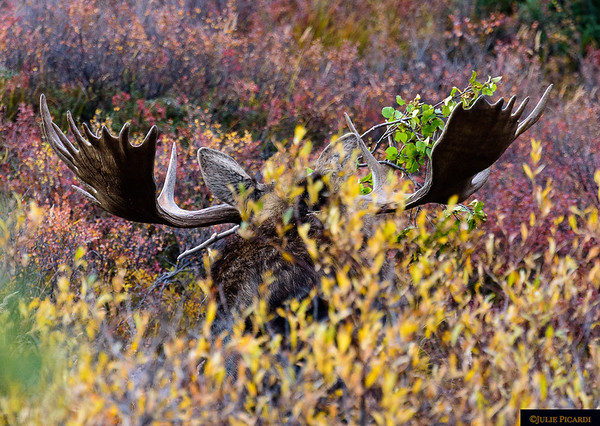Big bull moose thrashing the bushes during the rut.