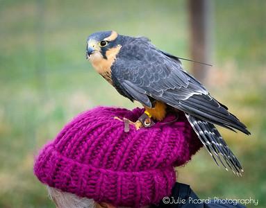 Alplomado Falcon