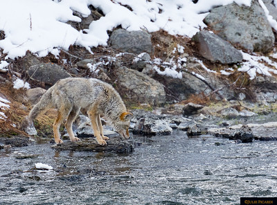 This coyote is..fishing??!