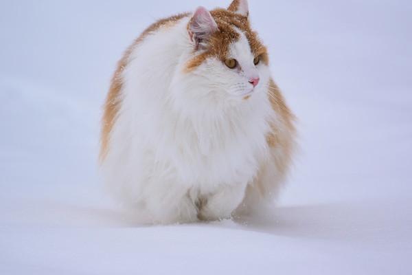 Katten Gustaf i snön -  Portrait of a long haired orange cat in the snow