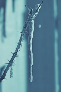 Istapp -  Icicle hanging from a rose twig