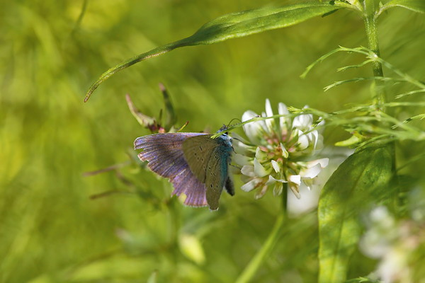A blue butterfly is drinking nectar from a clover flower