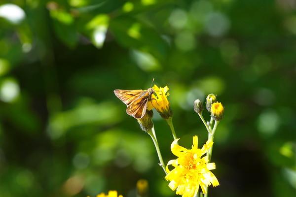 Butterflz Large Skipper sucking nectar from a yellow flower