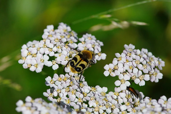 A bee beetle is feeding on pollen on a yarrow flower