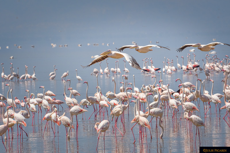 Pelicans Fly In To Lake Manyara