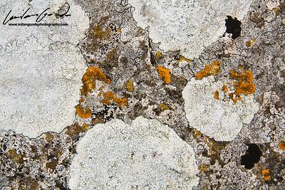 lichen, dorset