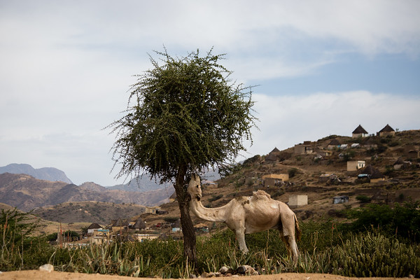 Camel on the outskirts of the city of Keren, sight of a famous weekly camel market in Eritrea.