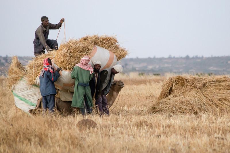 Loading hay onto a camel in the field near Qohaito in southern Eritrea.