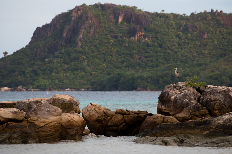 A seabird overlooking Anse Possession on Praslin island in the Seychelles.