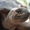 An Aldabra giant tortoise on Changgu island in Zanzibar, Tanzania.