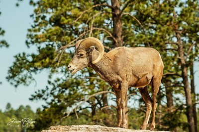 Bighorn watching the kids playing on the rocks.