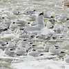 WARREN DILLAWAY / Star Beacon<br /> SEA GULLS hang out on a patch of ice growing in Conneaut Harbor on Thursday afternoon.