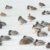 WARREN DILLAWAY / Star Beacon<br /> DUCKS HANG out on the ice at Lake Shore Park on Thursday afternoon.
