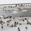 WARREN DILLAWAY / Star Beacon<br /> DUCKS AND swans hang out at the Lake Shore Park duck pond on Tuesday afternoon.