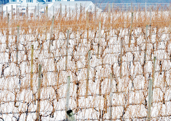 WARREN DILLAWAY / Star Beacon<br /> THE DAMAGE to Harpersfield Township vines, from the extreme cold snap last week, and grapes will not be known for some time.