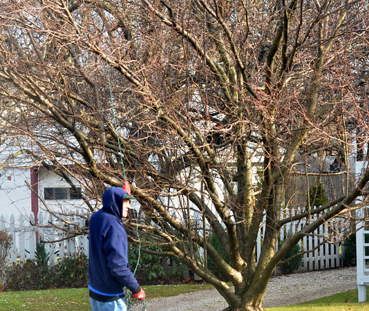 WARREN DILLAWAY / Star Beacon<br /> KENNY ROUNDS removes Christmas lights from a  tree along West Avenue in Ashtabula  on Tuesday mornning.