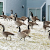 WARREN DILLAWAY / Star Beacon<br /> GEESE WALK up a hill along Broad Street Extension on Thursday afternoon in Conneaut.
