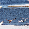 WARREN DILLAWAY / Star Beacon<br /> WATER FOWL don't seem to concerned about a snow covered beach with ice flows floating in Lake Erie at Lake Shore Park in Ashtabula Township on Friday afternoon.