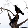 WARREN DILLAWAY / Star Beacon<br /> BIRDS PERCH on a on a branch along Chestnut Street in Conneaut on Tuesday morning.
