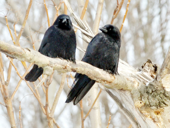 WARREN DILLAWAY / Star Beacon BIRDS PERCH on a on a branch along Chestnut Street in Conneaut on Tuesday morning.