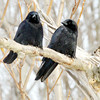WARREN DILLAWAY / Star Beacon<br /> BIRDS PERCH on a on a branch along Chestnut Street in Conneaut on Tuesday morning.