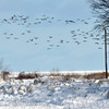 WARREN DILLAWAY / Star Beacon<br /> RESIDENT GEESE look for food and open water along the shores of Lake Erie in Ashtabula Township.