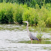 WARREN DILLAWAY / Star Beacon<br /> A HERRON stands out in a grassy area of Conneaut Harbor on Tuesday afternoon.