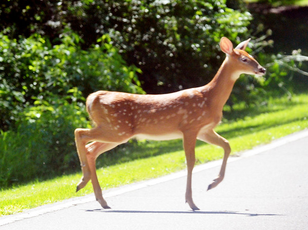 WARREN DILLAWAY / Star Beacon<br /> A SMALL deer walks across a road at Pymatuning State Park in Andover Township on Friday afternoon.