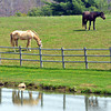 WARREN DILLAWAY / Star Beacon<br /> HORSES GRAZE along South River Road in Harpersfield Township  on Thursday afternoon.